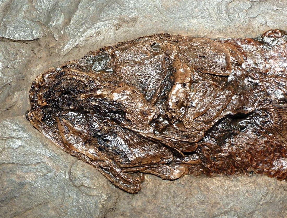 Enormous Eocene Mudfish Fossil from Messel Pit - 3