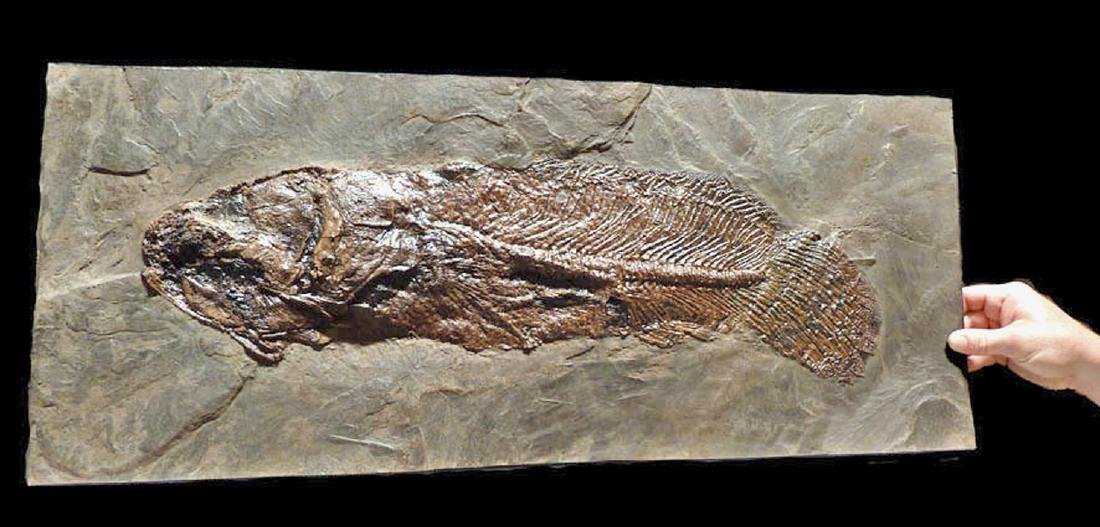 Enormous Eocene Mudfish Fossil from Messel Pit - 6