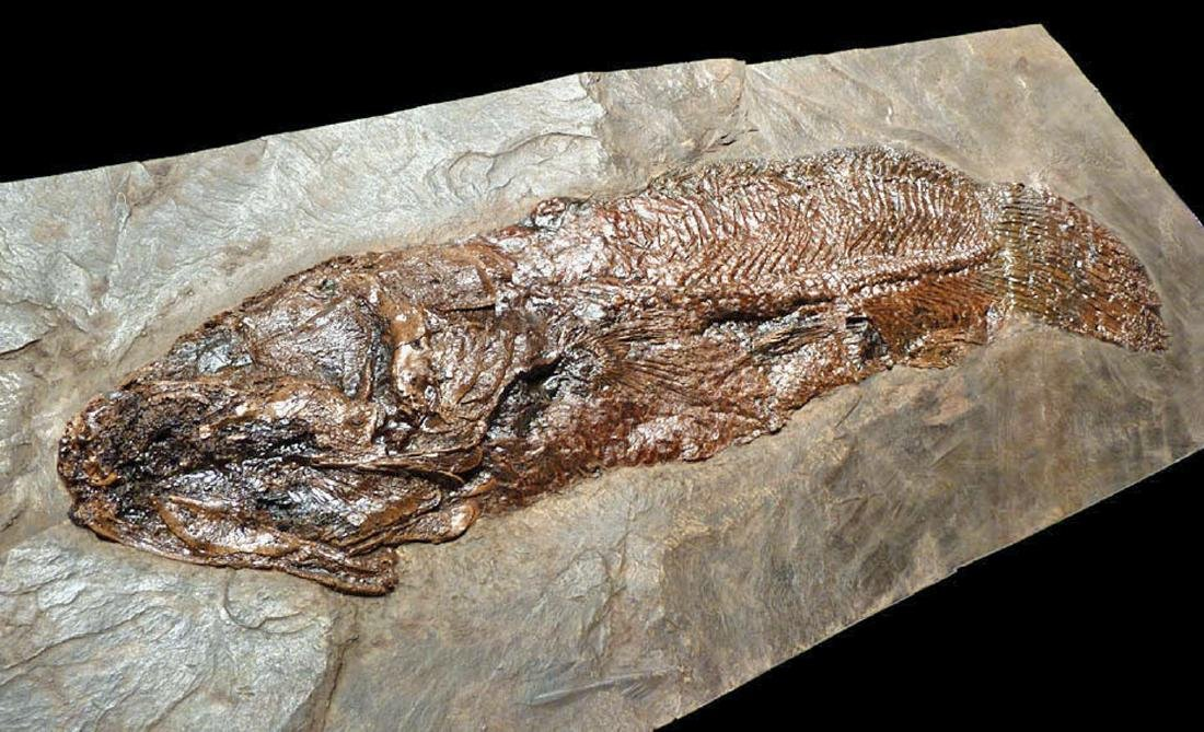Enormous Eocene Mudfish Fossil from Messel Pit - 7