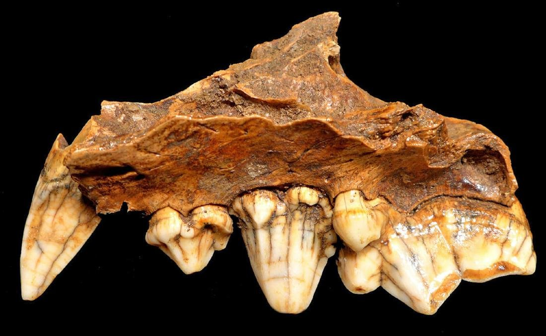 Rare Crocuta European Cave Hyena Fossil Maxillae - 2