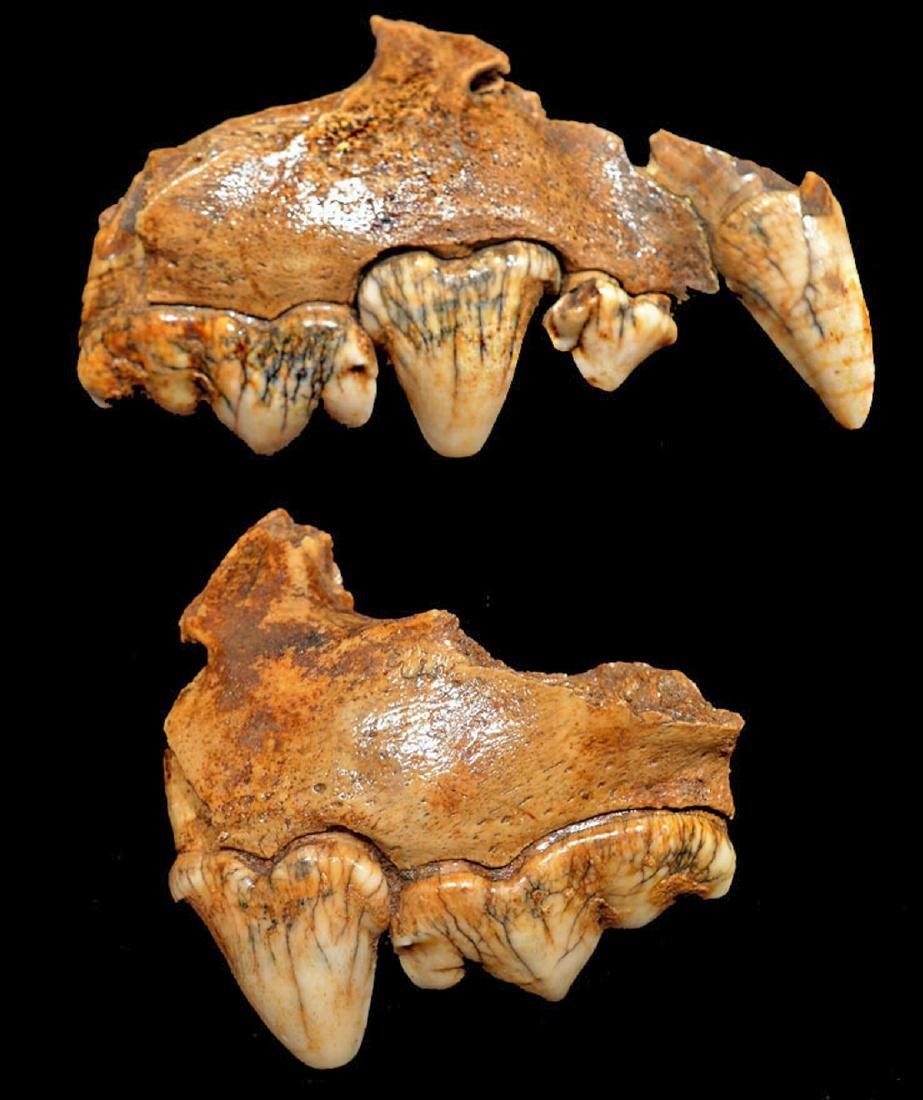Rare Crocuta European Cave Hyena Fossil Maxillae - 3