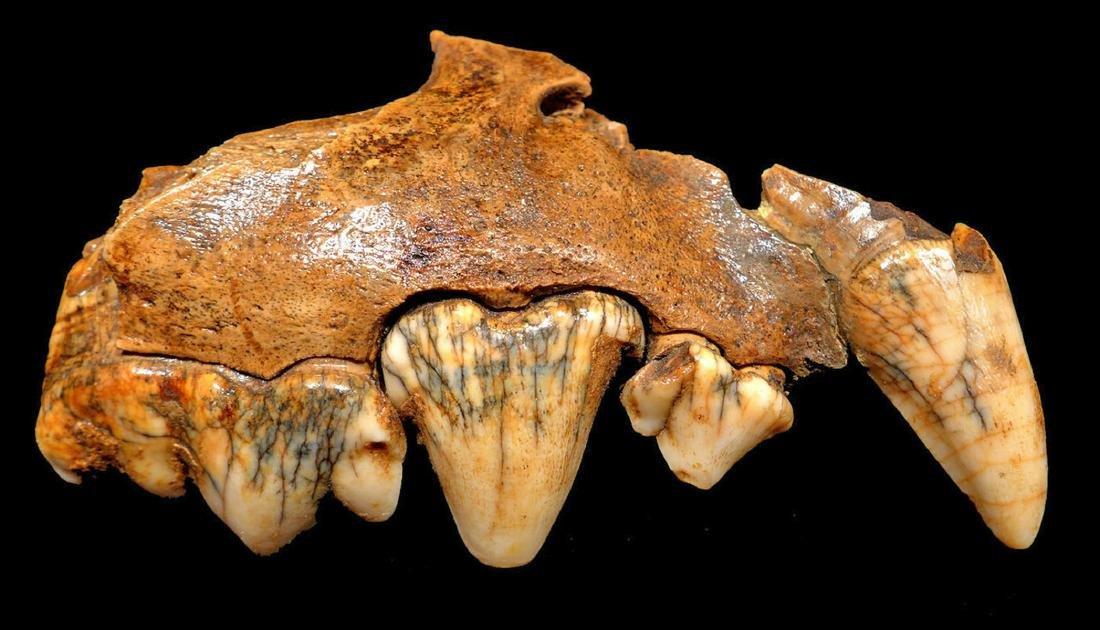 Rare Crocuta European Cave Hyena Fossil Maxillae - 4