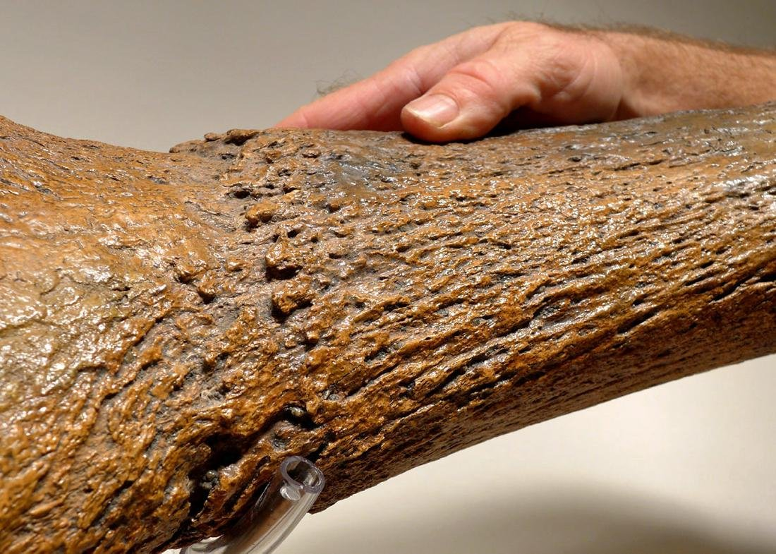 Giant Ice Age Aurochs Fossil Skull w/ Horn - Published - 4