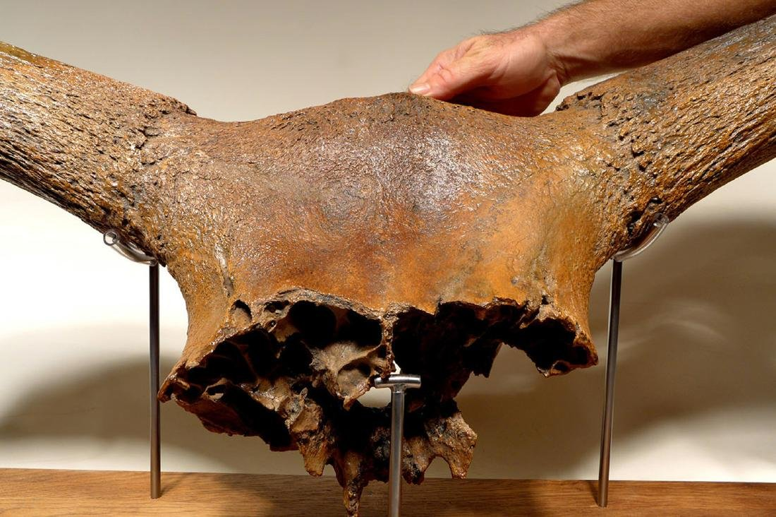 Giant Ice Age Aurochs Fossil Skull w/ Horn - Published - 5