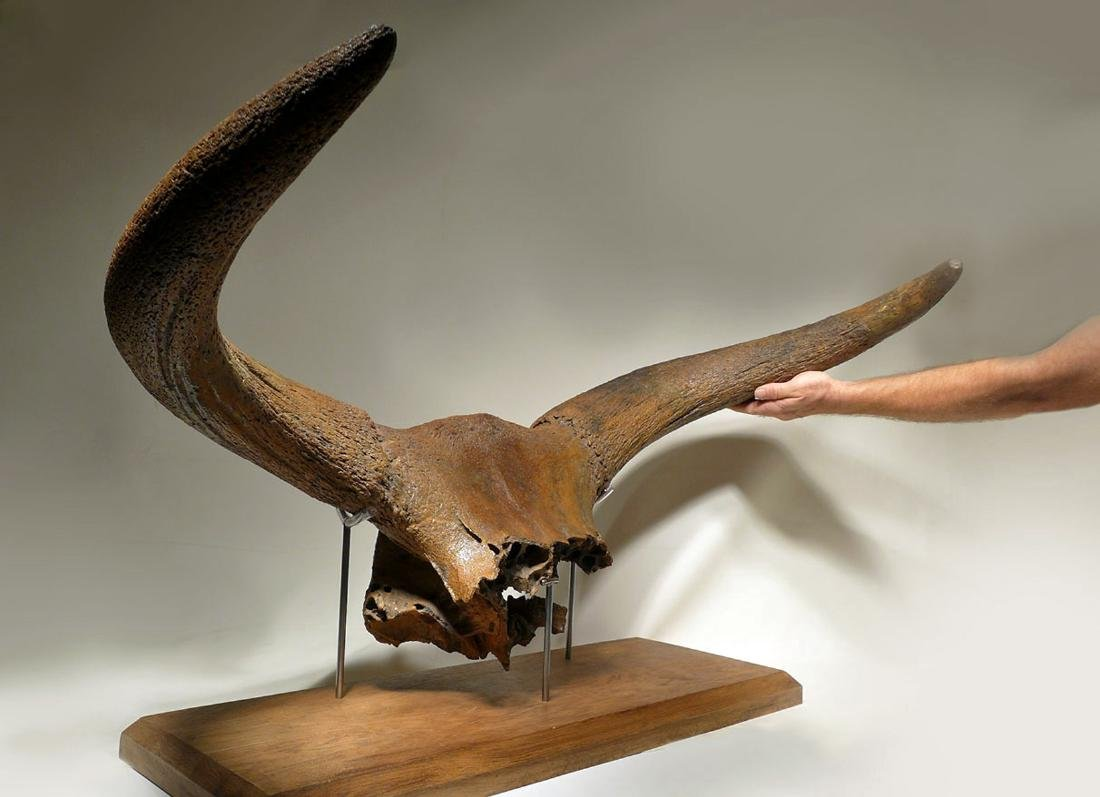 Giant Ice Age Aurochs Fossil Skull w/ Horn - Published - 7