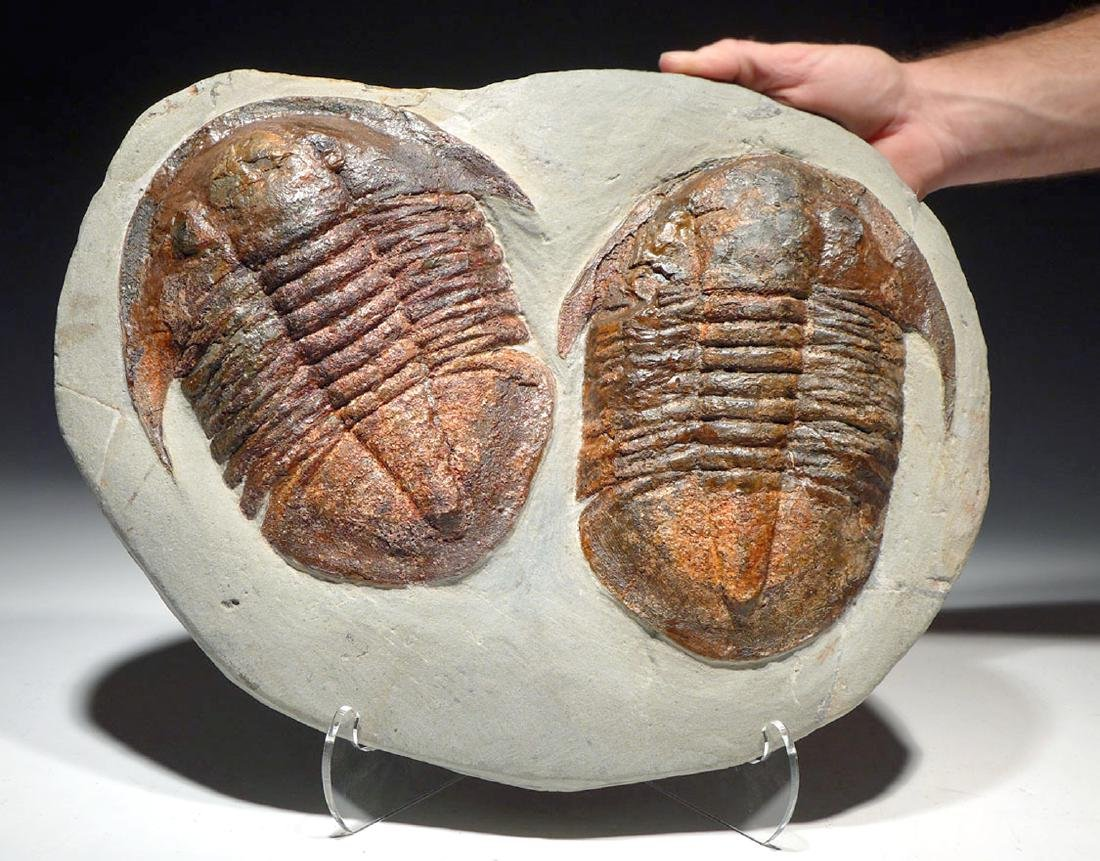 Large Ordovician Double Asaphid Trilobite Fossil