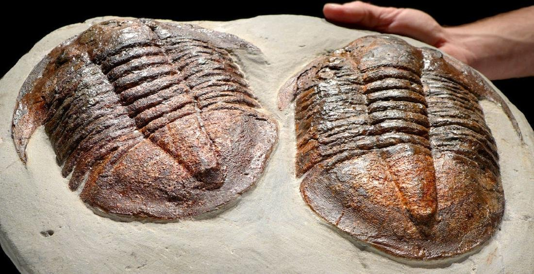 Large Ordovician Double Asaphid Trilobite Fossil - 2