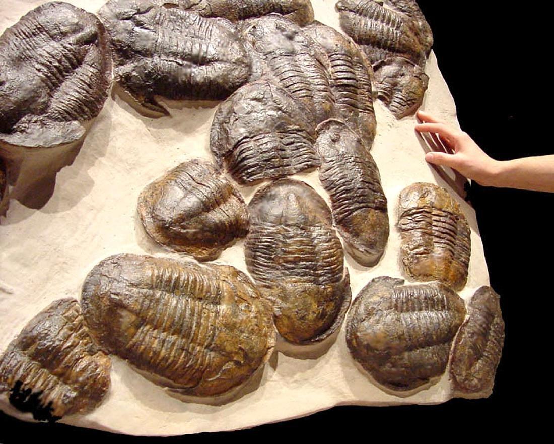 Moroccan Large Asaphus Trilobites Fossil - 4