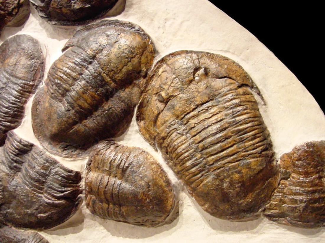 Moroccan Large Asaphus Trilobites Fossil - 5