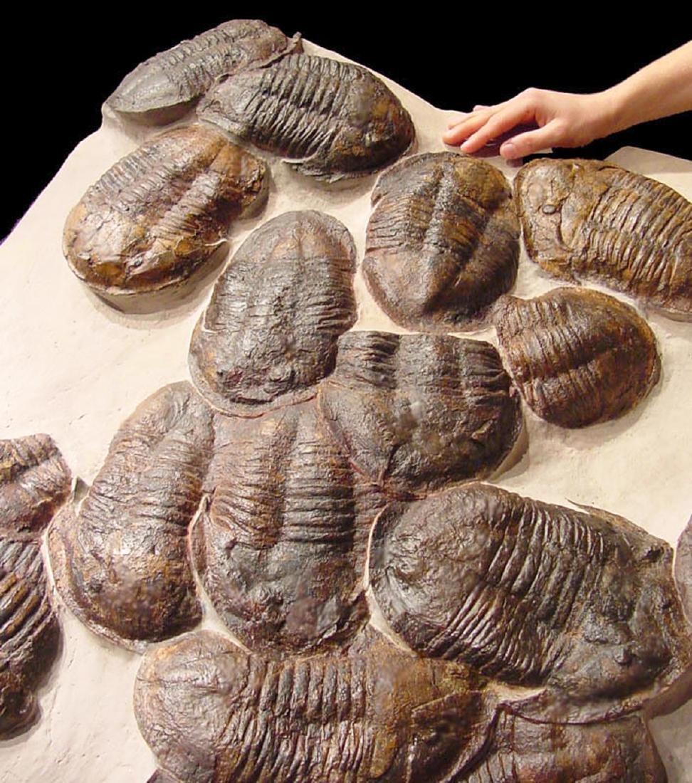 Moroccan Large Asaphus Trilobites Fossil - 6