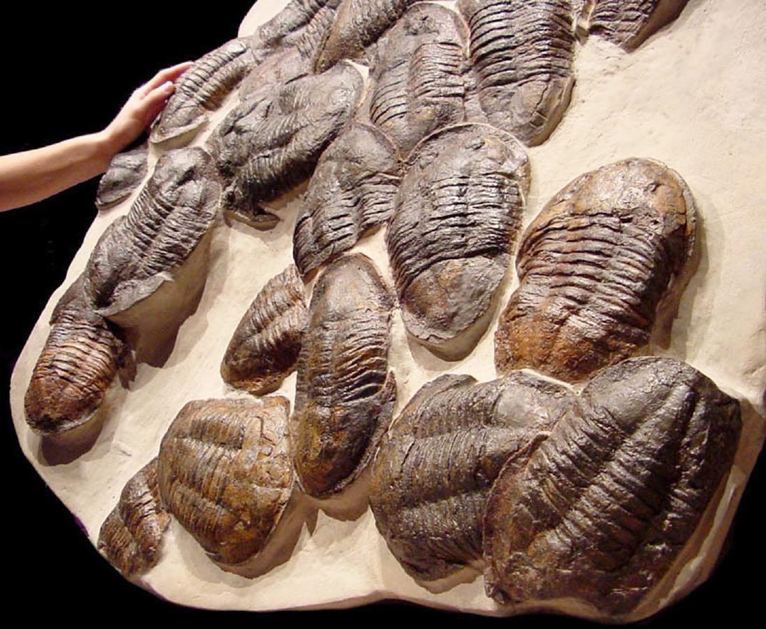 Moroccan Large Asaphus Trilobites Fossil - 7