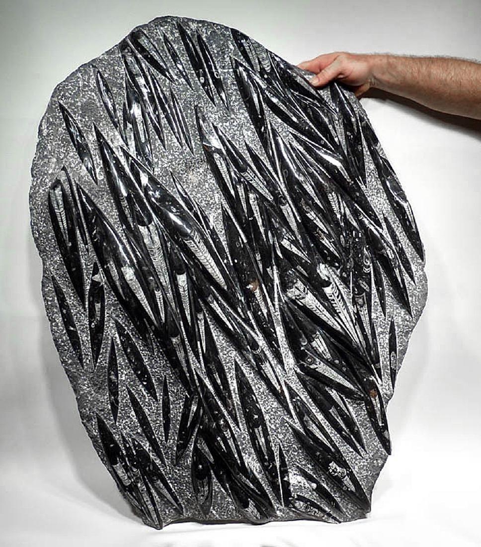 Massive Fossil-Rich Prehistoric Orthoceras Slab