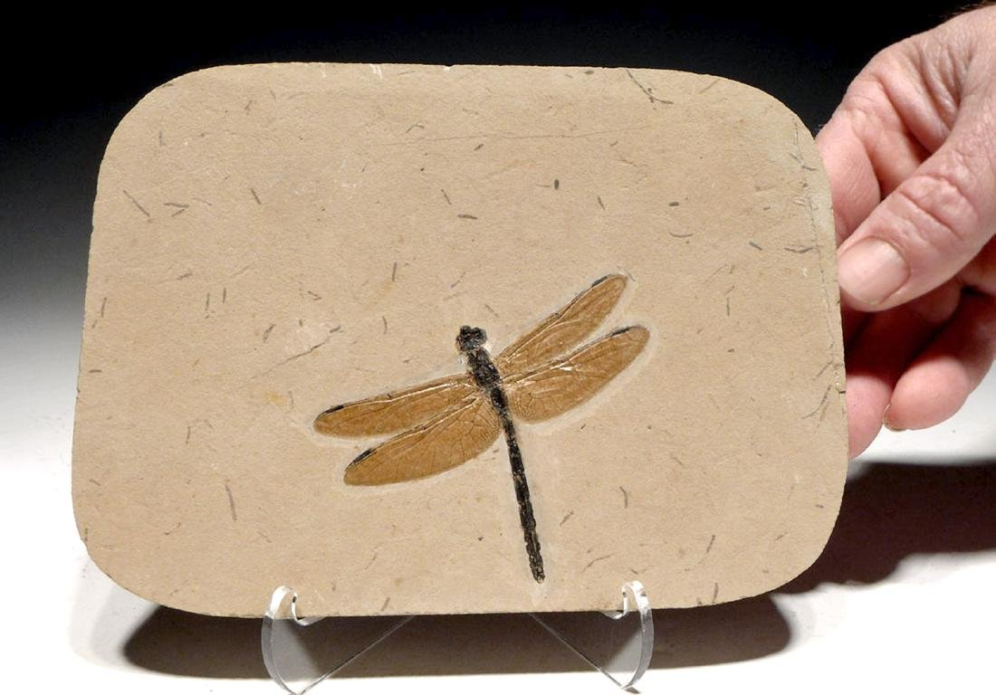 Rare & Large Cretaceous Dragonfly Fossil