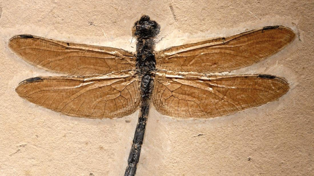 Rare & Large Cretaceous Dragonfly Fossil - 2