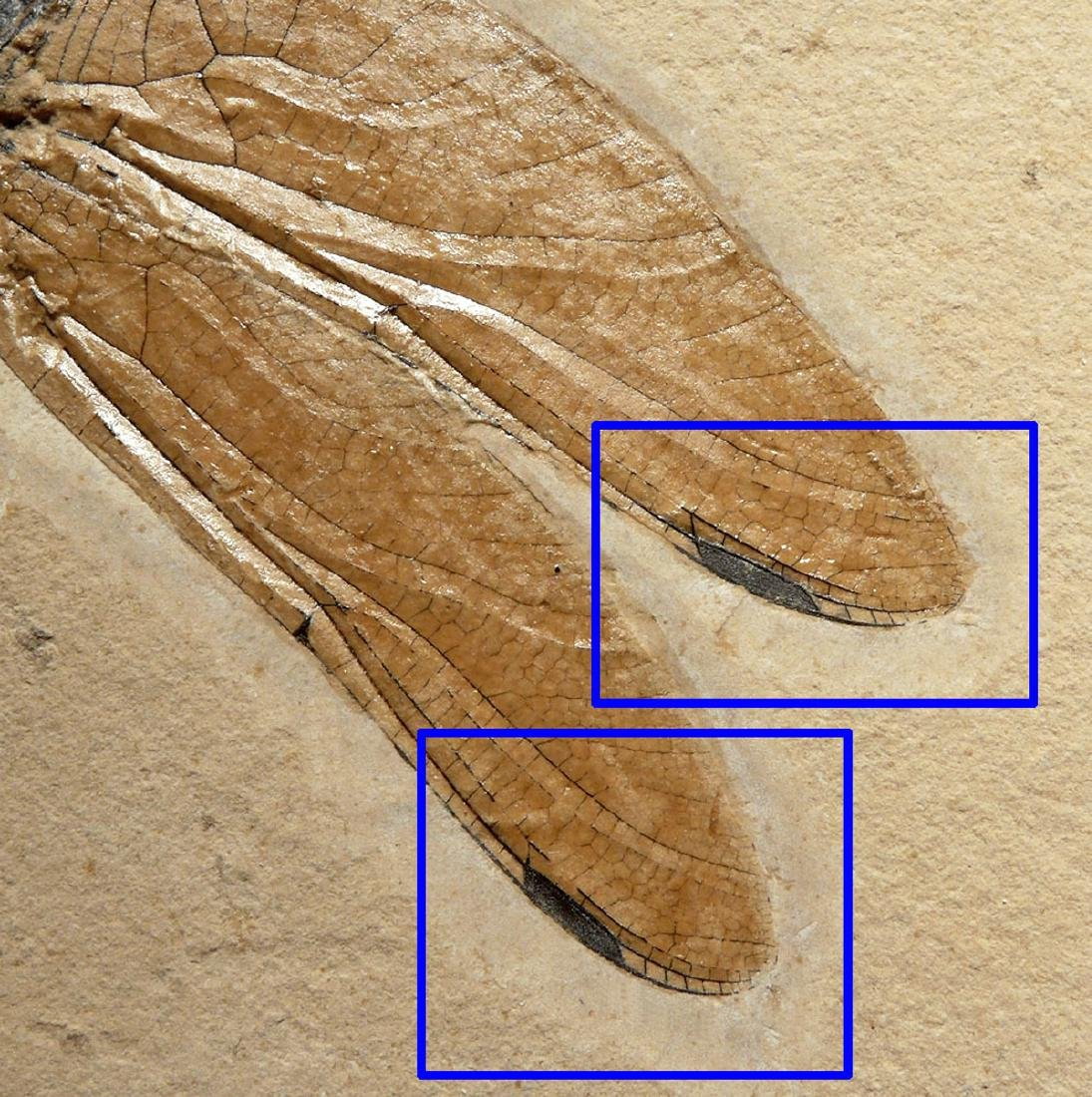 Rare & Large Cretaceous Dragonfly Fossil - 5