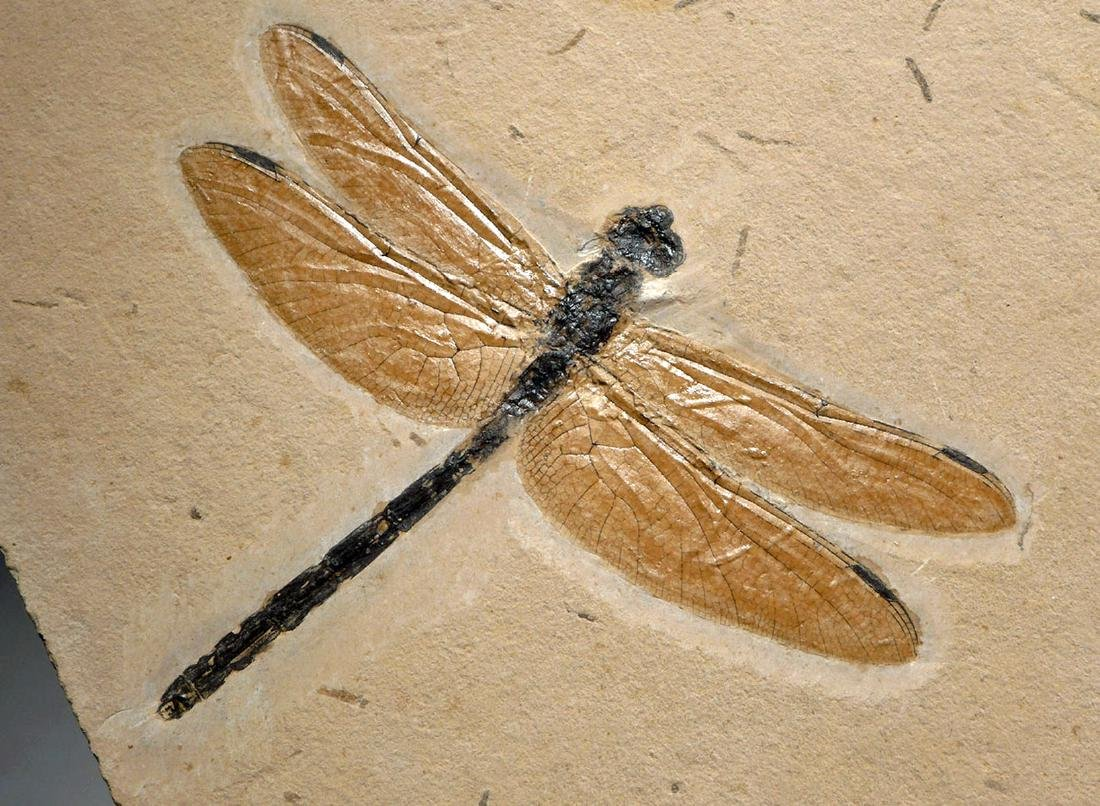 Rare & Large Cretaceous Dragonfly Fossil - 6