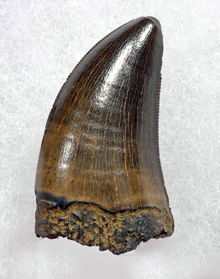 Juvenile Tyrannosaurus Rex Tooth Fossil - 2