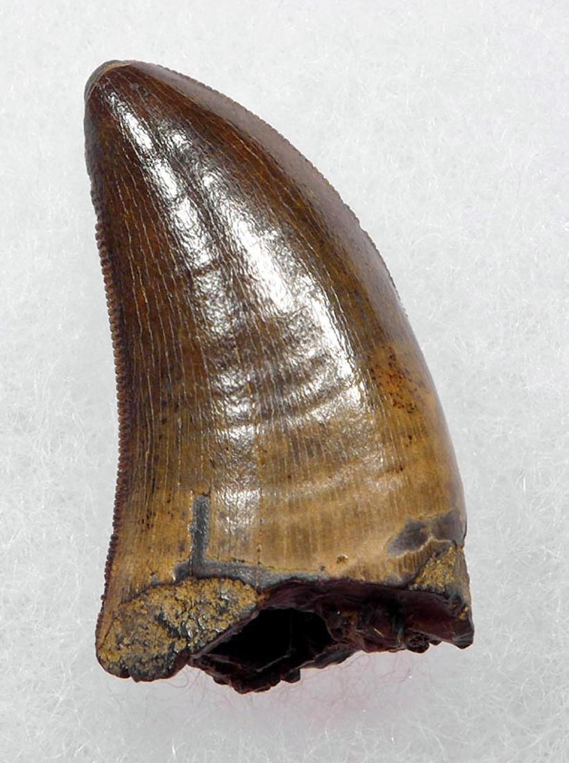 Juvenile Tyrannosaurus Rex Tooth Fossil - 4