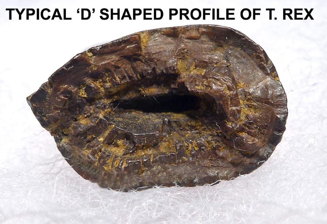 Juvenile Tyrannosaurus Rex Tooth Fossil - 6