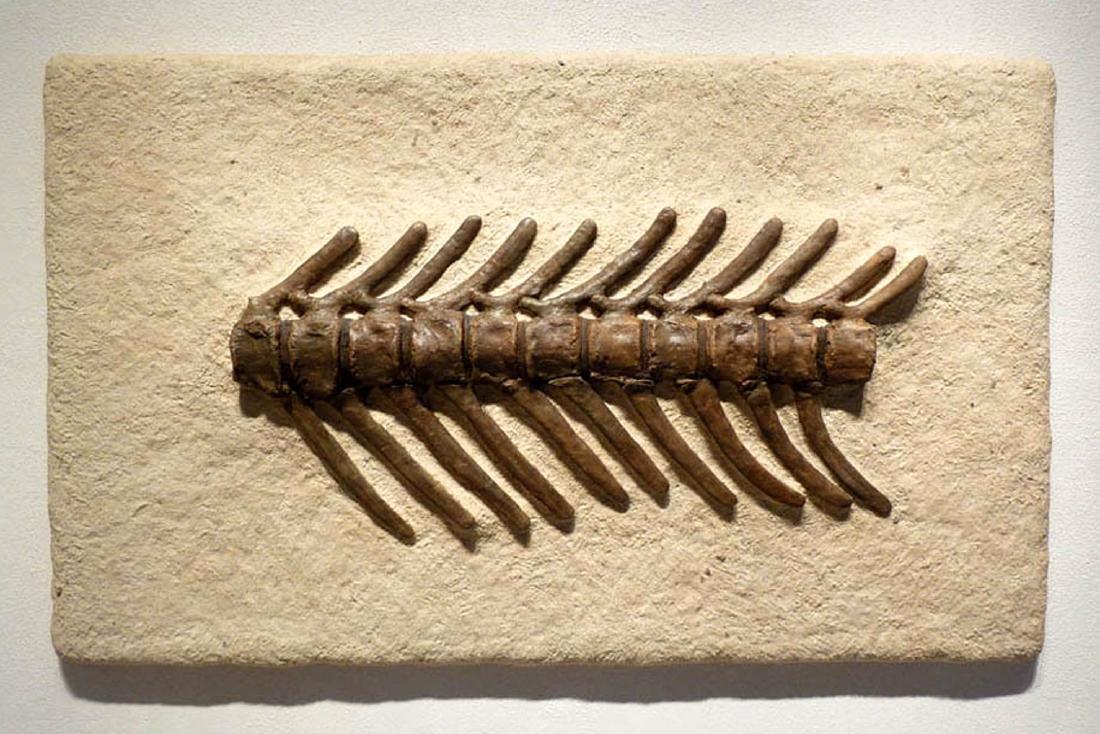 Cretaceous Montana Hadrosaur Articulated Spine Fossil - 2