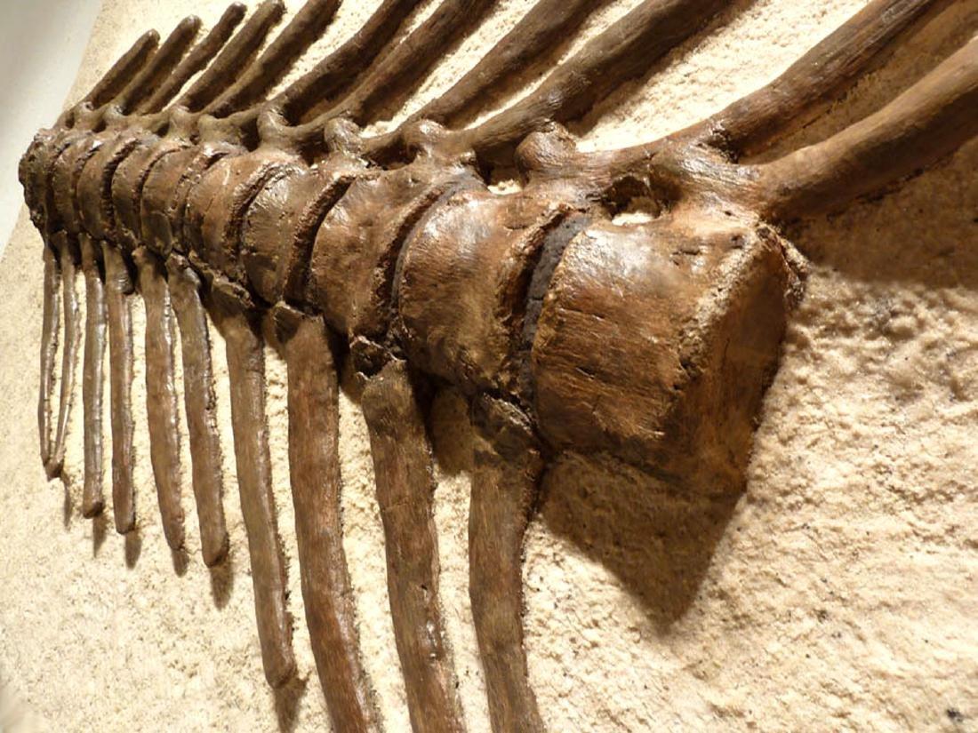 Cretaceous Montana Hadrosaur Articulated Spine Fossil - 3