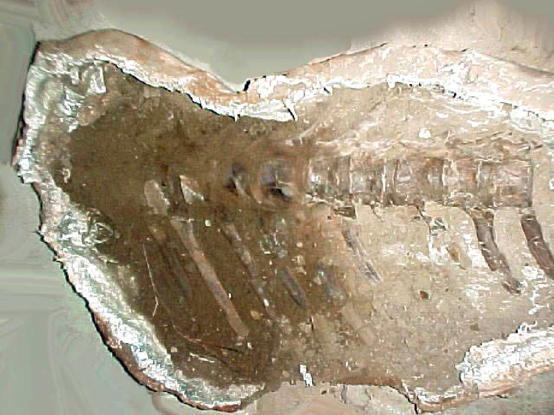Cretaceous Montana Hadrosaur Articulated Spine Fossil - 4