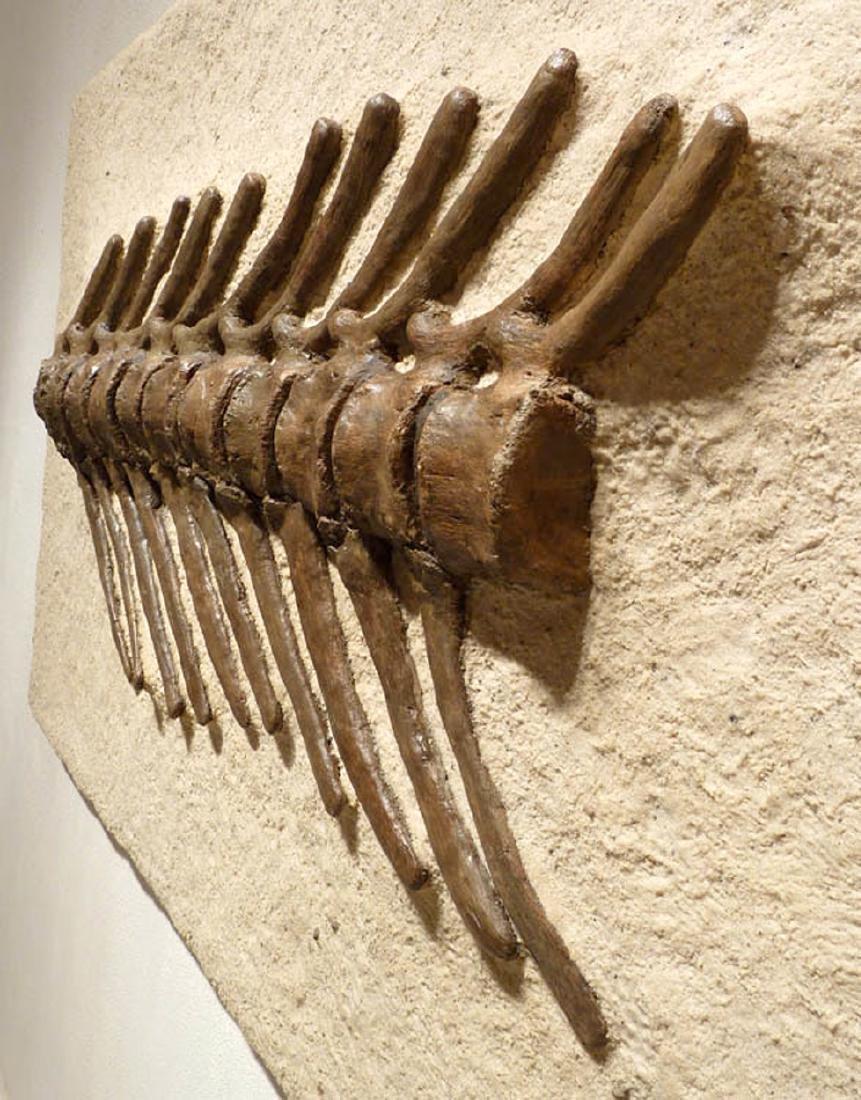Cretaceous Montana Hadrosaur Articulated Spine Fossil - 6