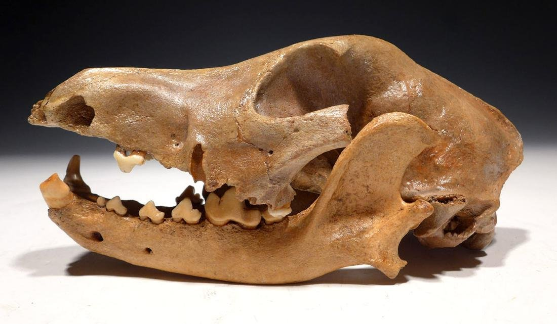 Rare Fossilized Dog Skull from Iron Age Site in Holland