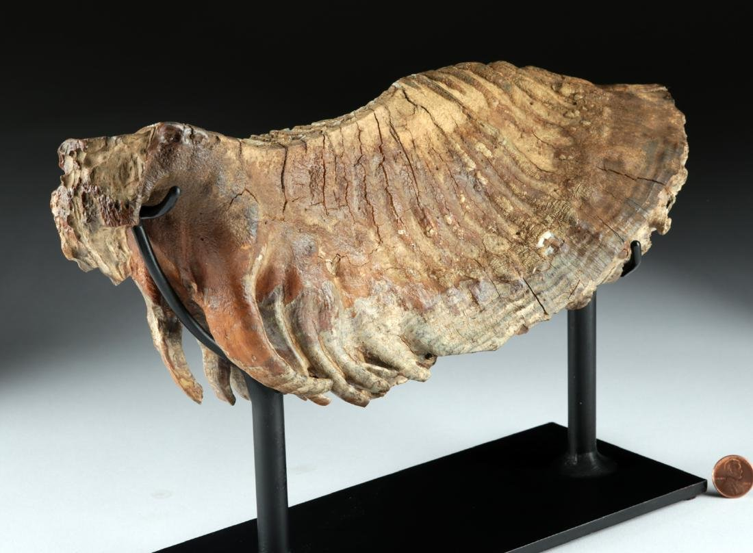 Mammoth Tooth - Beautiful Preservation - 3
