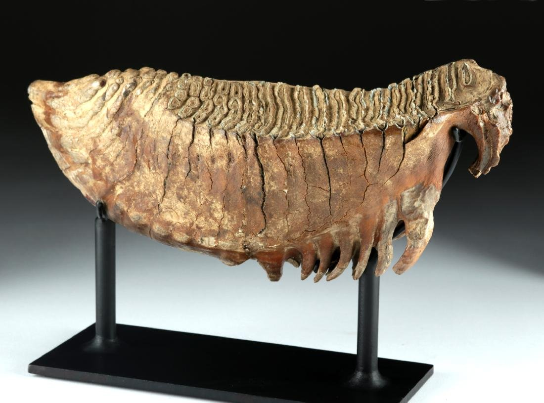 Mammoth Tooth - Beautiful Preservation - 4