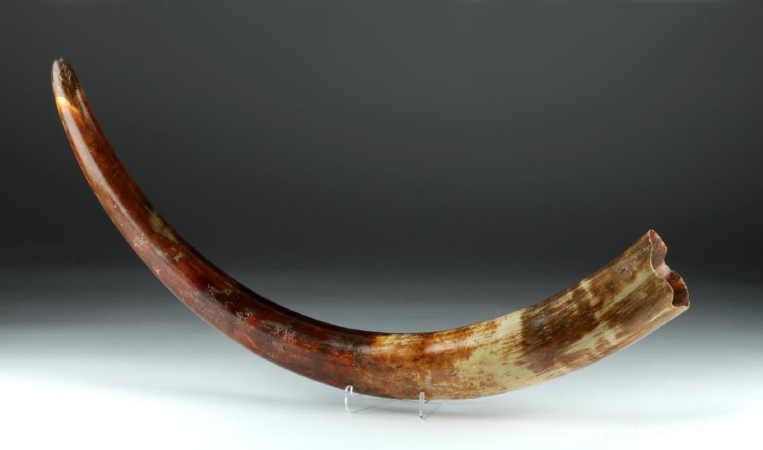 Pleistocene Ice Age Juvenile Mammoth Tusk