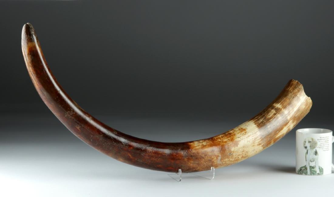 Pleistocene Ice Age Juvenile Mammoth Tusk - 2