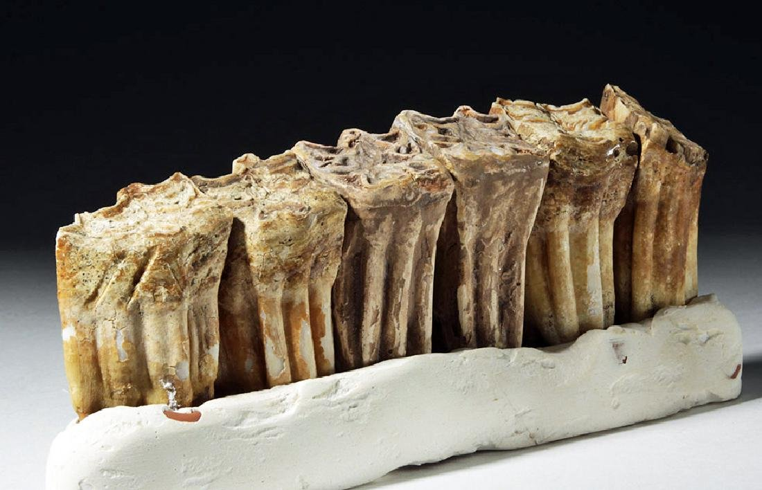 Fossilized Ancient Horse Teeth in Faux Matrix (6)