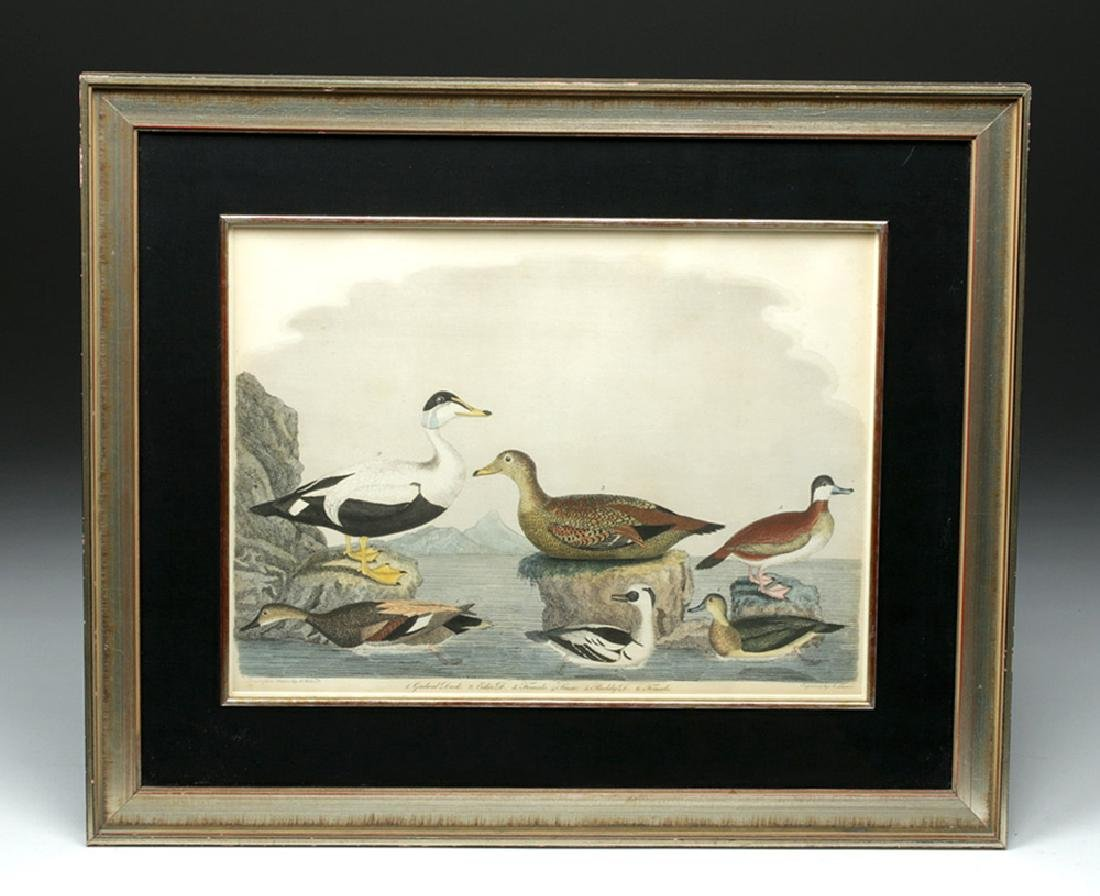19th C. Engraving after Alexander Wilson Drawing, Ducks