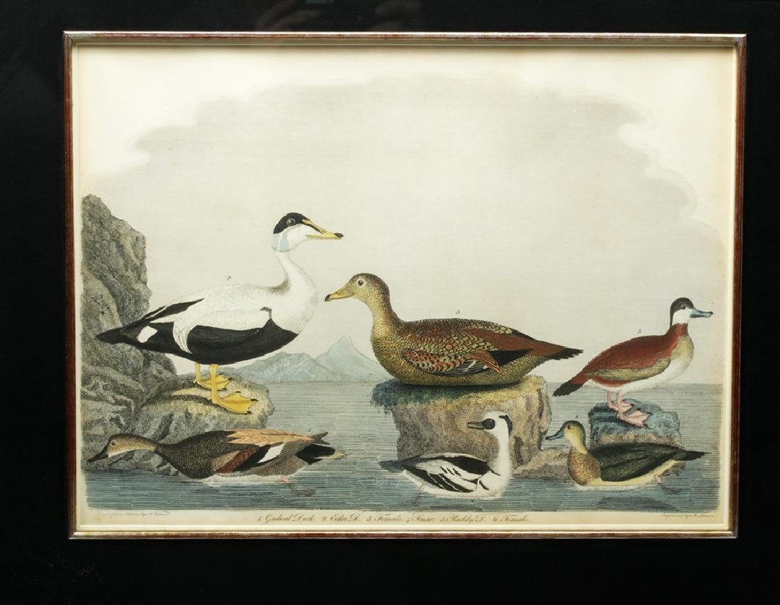 19th C. Engraving after Alexander Wilson Drawing, Ducks - 2