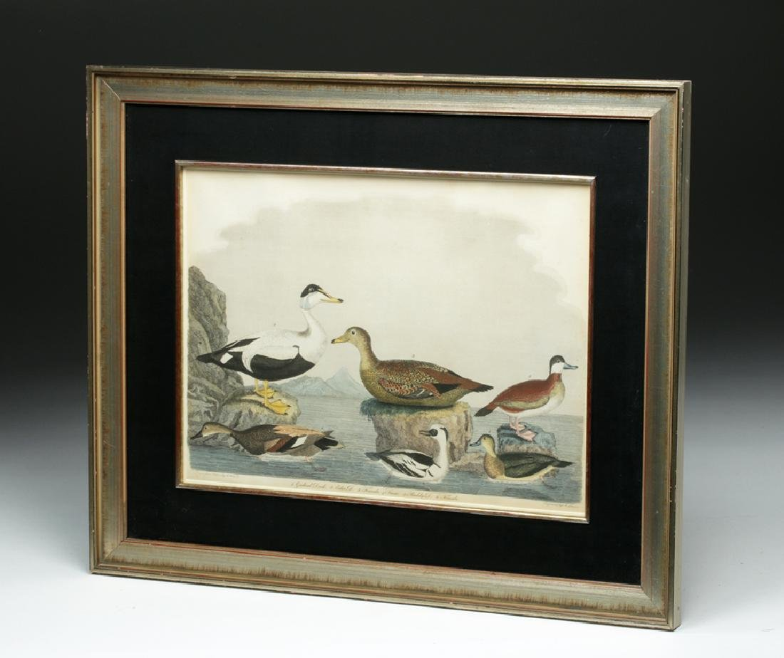 19th C. Engraving after Alexander Wilson Drawing, Ducks - 6