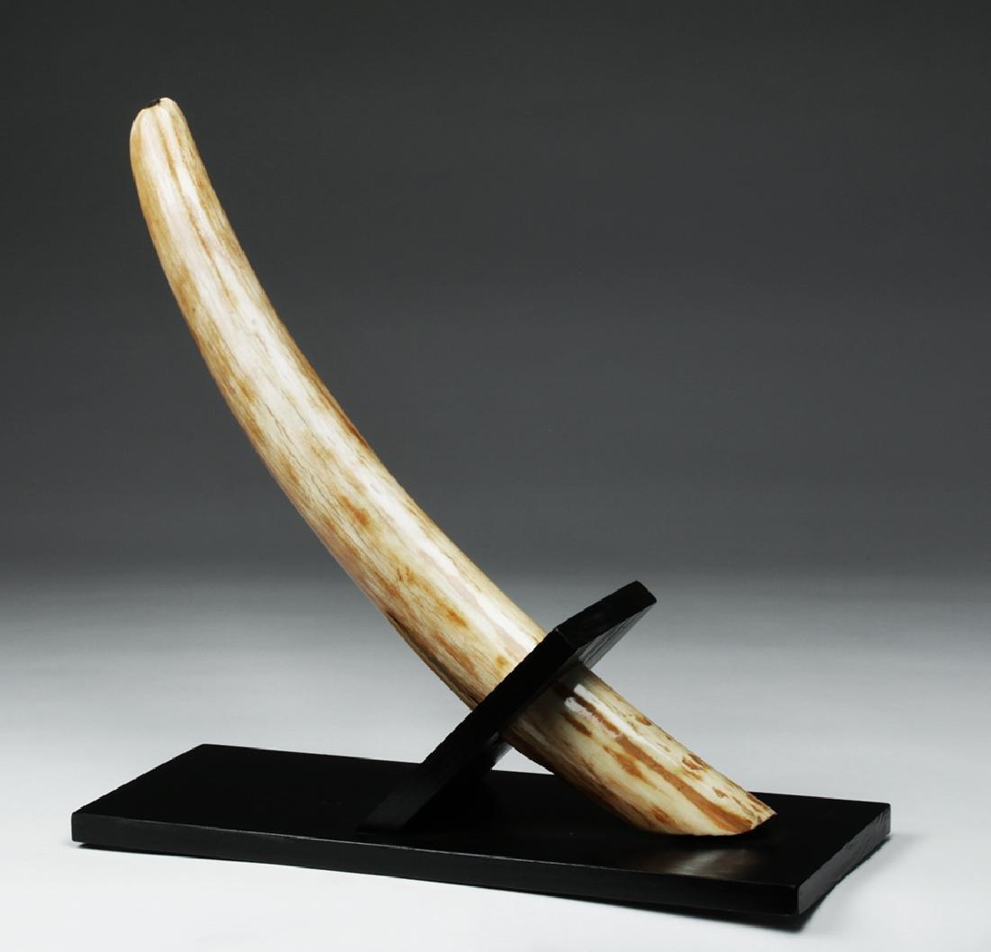 Prehistoric Late Pleistocene Alaskan Mammoth Tusk End - 2