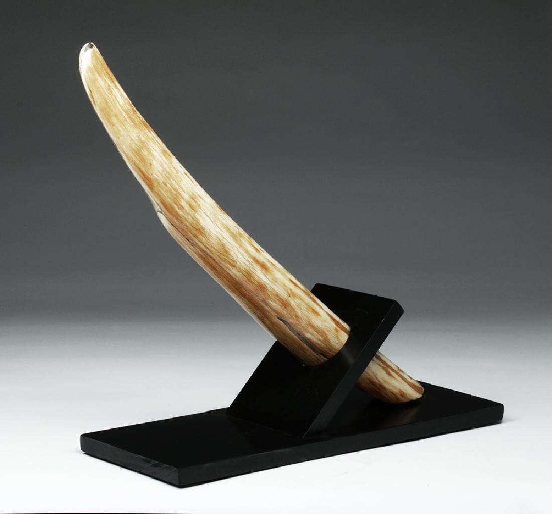 Prehistoric Late Pleistocene Alaskan Mammoth Tusk End - 5