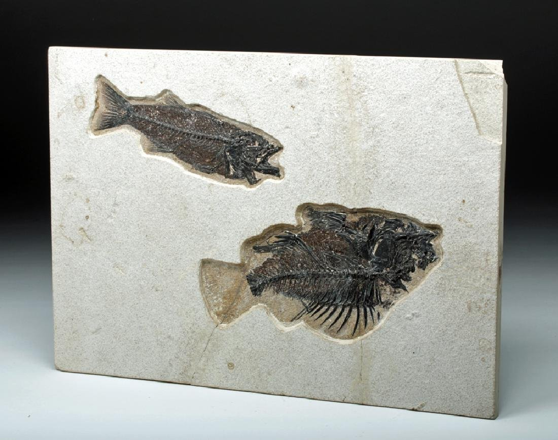 Large Fossil Fish, Priscacara & Mioplosus Labrocoides