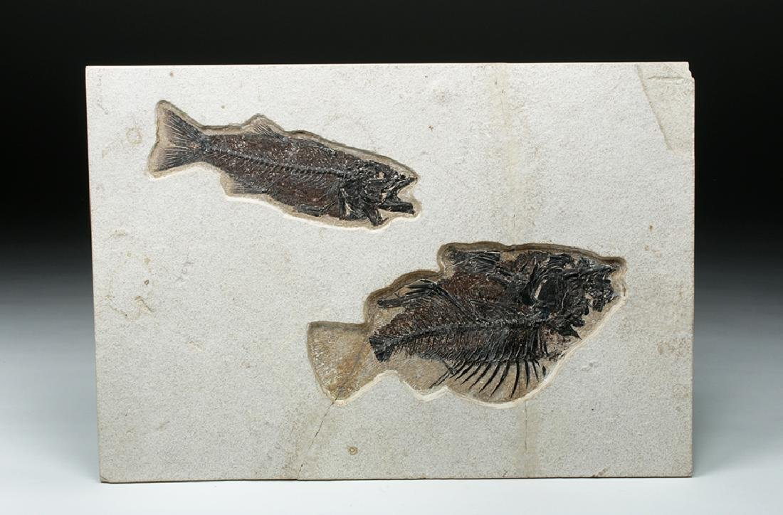 Large Fossil Fish, Priscacara & Mioplosus Labrocoides - 2