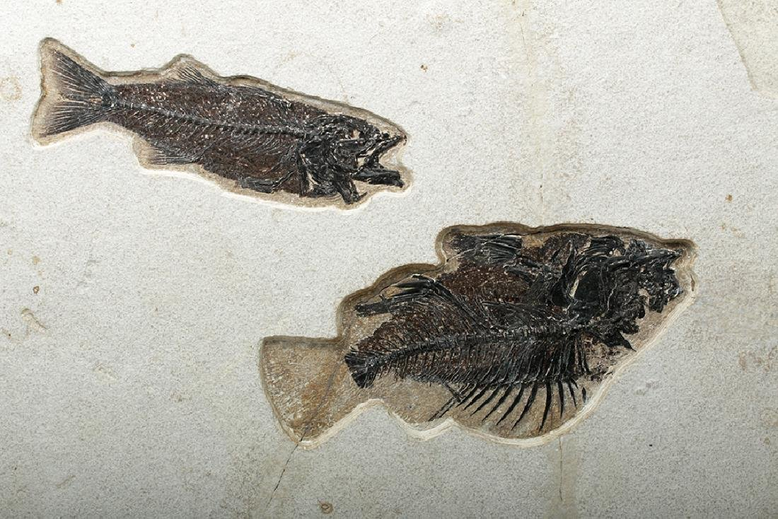 Large Fossil Fish, Priscacara & Mioplosus Labrocoides - 3