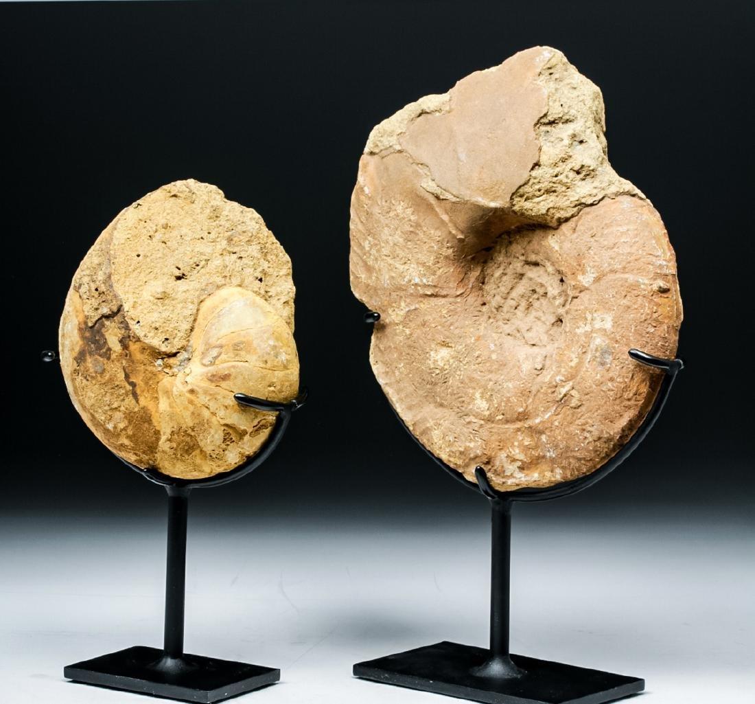 Prehistoric African Ammonite & Nautilus Fossils