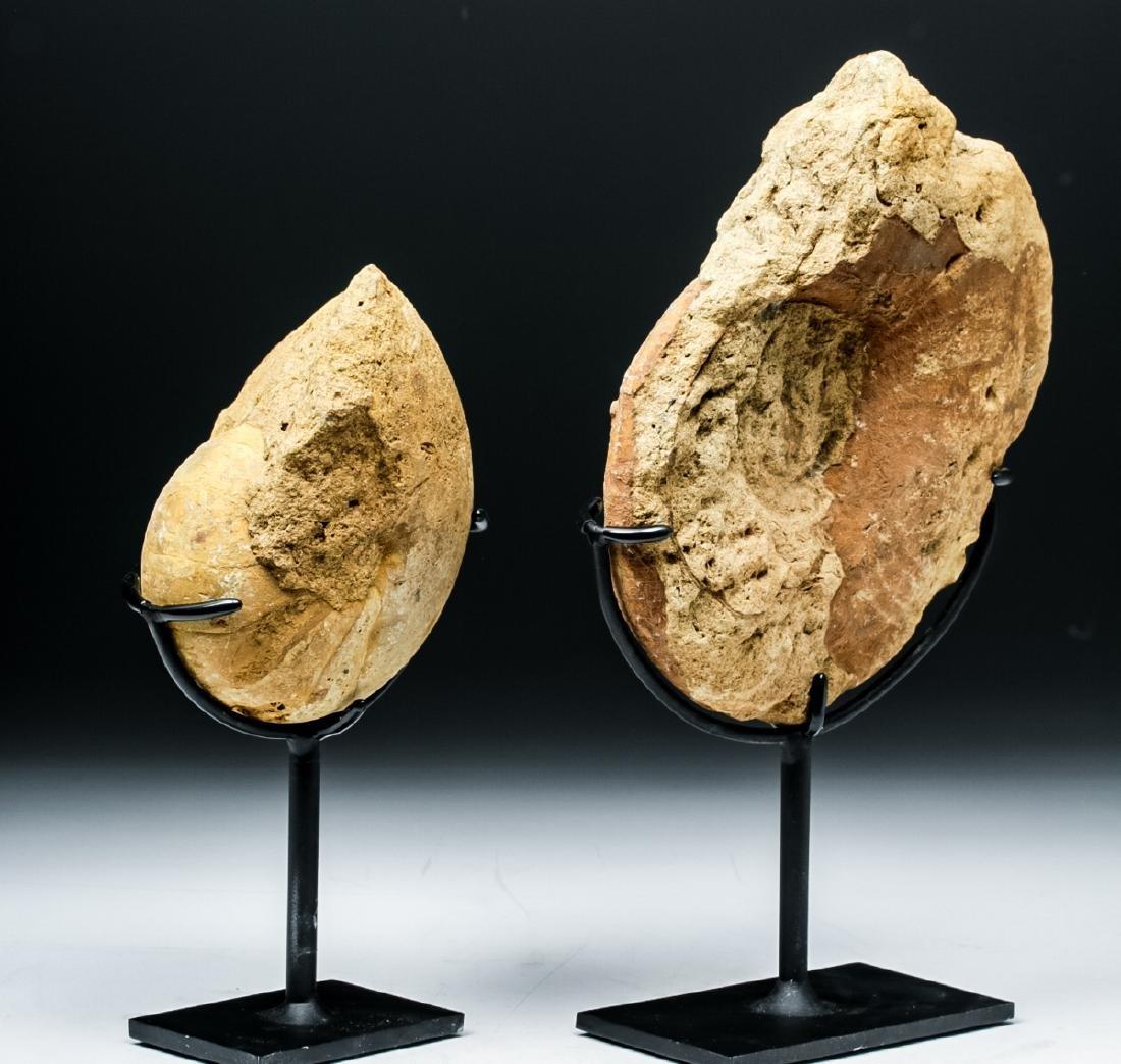 Prehistoric African Ammonite & Nautilus Fossils - 2