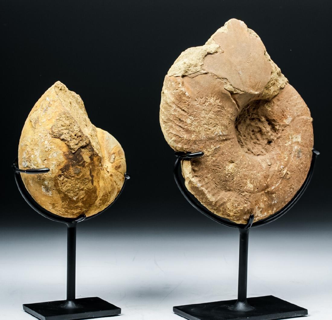 Prehistoric African Ammonite & Nautilus Fossils - 4