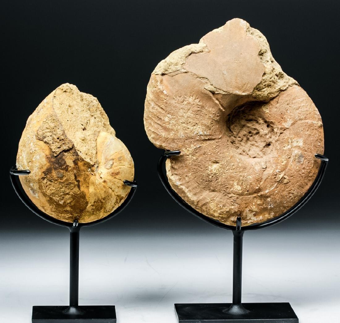 Prehistoric African Ammonite & Nautilus Fossils - 5