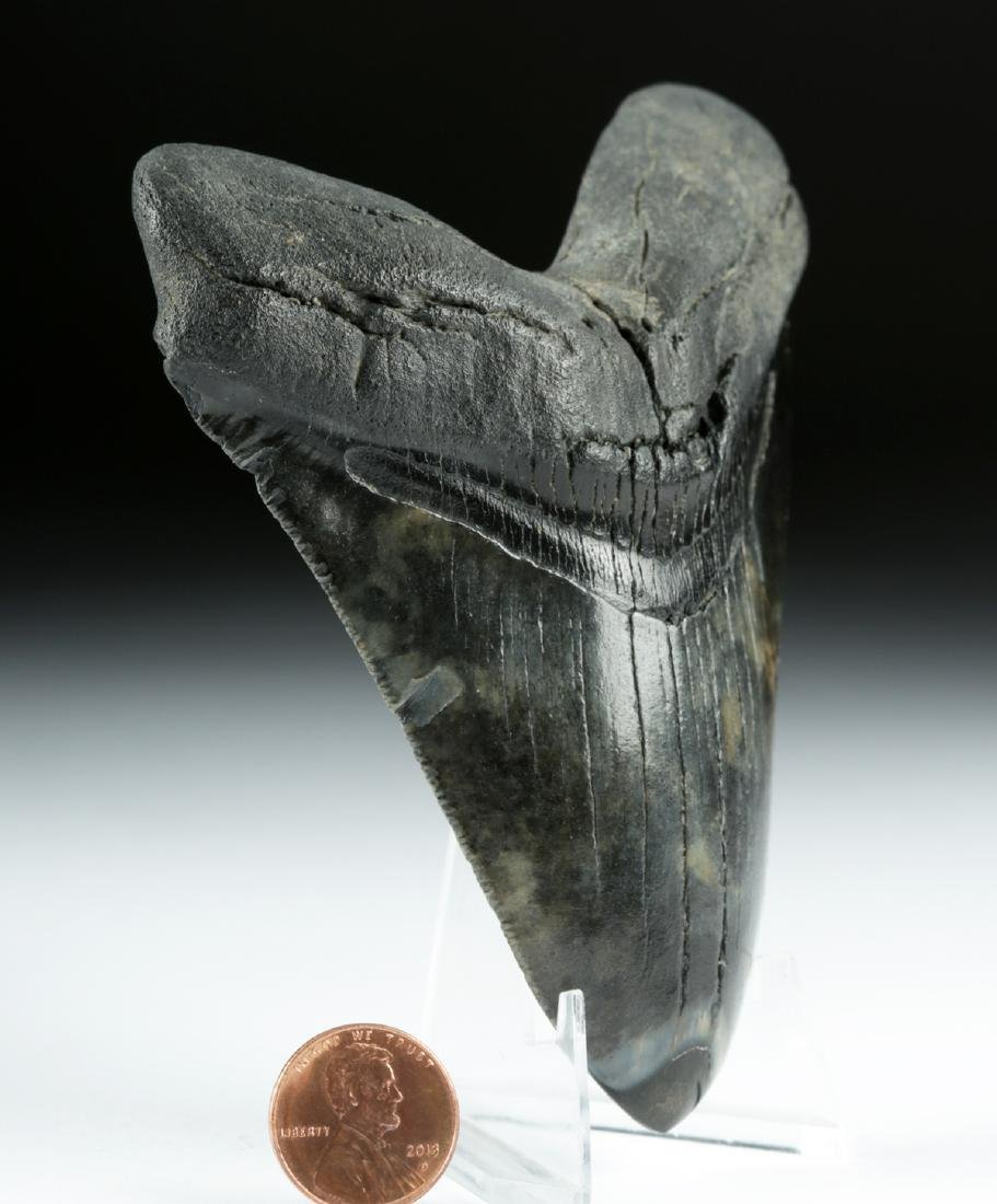 Large / Fine Fossilized Megalodon Tooth - 2