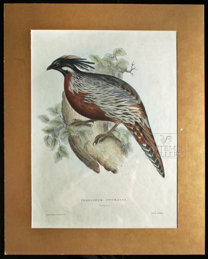 Gould Lithograph - Phasianus Pucrasia - 1831