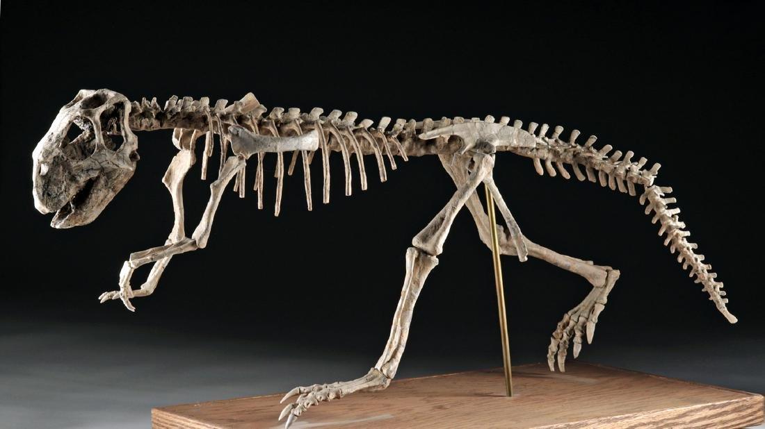 Nearly Complete Fossil Psittacosaurus Dinosaur Skeleton