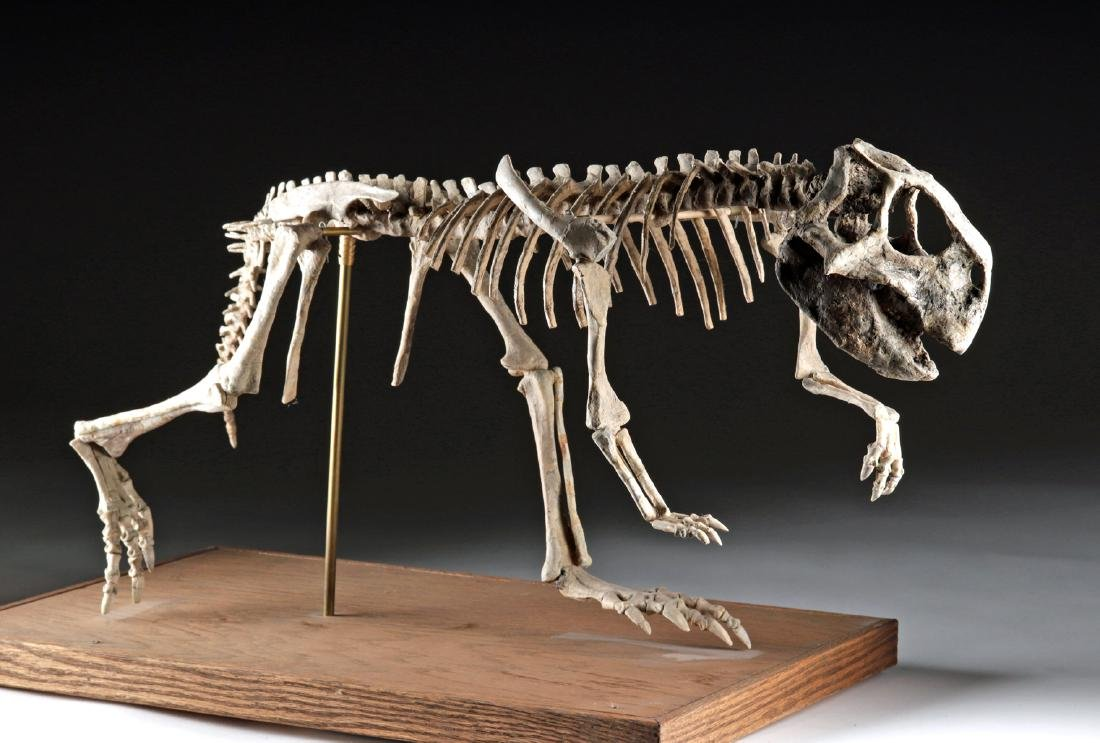 Nearly Complete Fossil Psittacosaurus Dinosaur Skeleton - 2