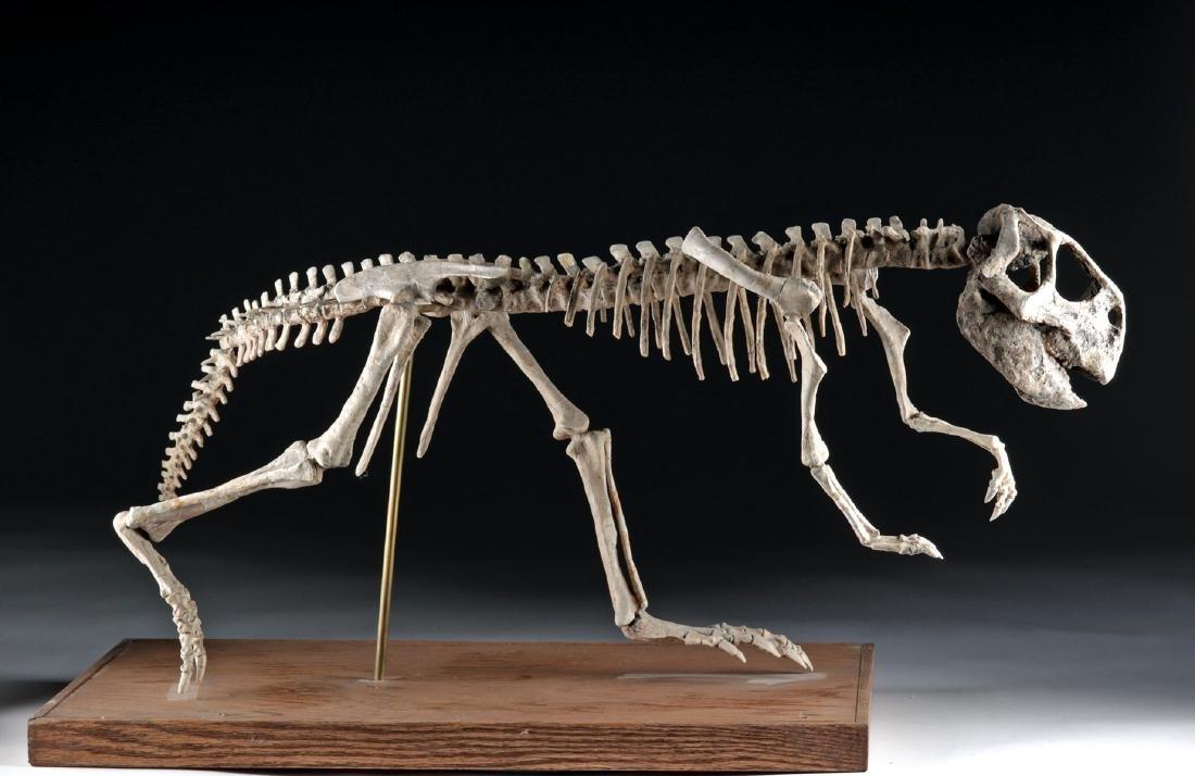Nearly Complete Fossil Psittacosaurus Dinosaur Skeleton - 3